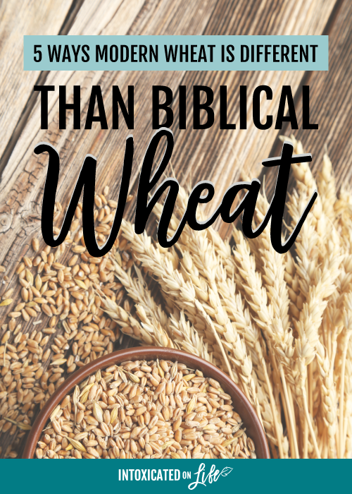 5 Ways Modern Wheat Is Different Than Biblical Wheat